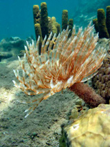Annelid worms feed on Dominica Reef